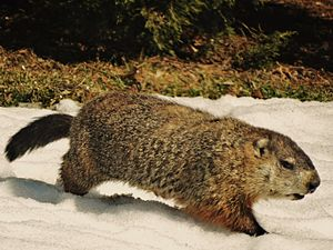 Groundhog - An adult female groundhog walking through snow in March
