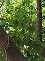 FicusSuperbaVarJaponica.jpg