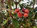 Ficus benghalensis near Thanjavur Railway Junction IMG 20180512 155108096 HDR.jpg