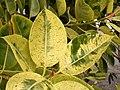 Ficus elastica (Los Cancajos) 02 ies.jpg