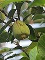 Ficus pumila - Climbing fig at Thenmala 2014 (1).jpg