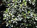 Ficus rubiginosa, lower en vrugte, b, Pretoria.jpg
