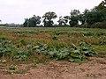 Field of Rhubarb - geograph.org.uk - 566975.jpg