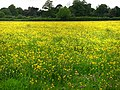 Field of buttercups south of Blendworth - geograph.org.uk - 1317185.jpg