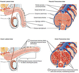 Erection Physiological phenomenon in which penis becomes firm