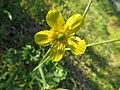Fiori Gialli Del Ranuncolo - Fiori di campo gialli.jpg