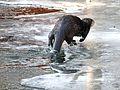Fischotter auf dem Eis. 05.jpg