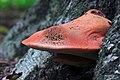 Fistulina hepatica, Beefsteak Fungus,Enfield,UK.jpg