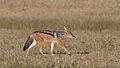 Five cheetahs were feeding on a Springbok kill one morning in the Kgalagadi. (34376906322).jpg