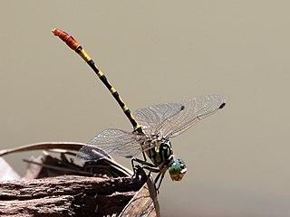 <i>Austrogomphus turneri</i> Species of dragonfly