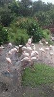 File:Flamingos at Disney's Animal Kingdom Lodge (35884577204).webm