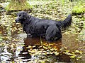 Flatcoated Retriever Image 001.jpg