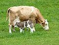 Fleckvieh-Mutterkuh mit Kalb 12.JPG