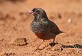 Flickr - Rainbirder - African Quailfinch (Ortygospiza atricollis) male.jpg