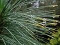 Flickr - brewbooks - Pinus yunnanensis (1).jpg
