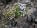 Flickr - brewbooks - Saxifraga tolmiei and Phlox diffusa.jpg