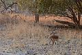 Flickr - ggallice - Impala ram (1).jpg