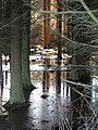 Flooded forest - geograph.org.uk - 354052.jpg