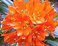 Flor de Clívia (273463054).jpg