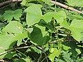 Flora from Savandurga IMG 9492.jpg
