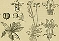 Flora of Syria, Palestine, and Sinai - from the Taurus to Ras Muhammas and from the Mediterranean sea to the Syrian desert (1896) (14761655406).jpg