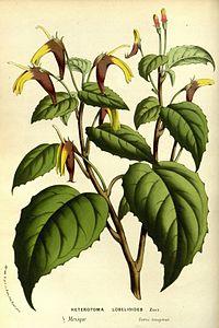 H. lobelioides