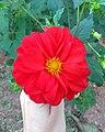 Flores de Guaramiranga CE - Red 2.jpg