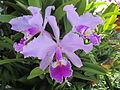 Flores hermosas en los jardines rurales de Buga.JPG