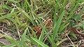 Florida Eastern Lubber Grasshopper on Grass (2).jpg