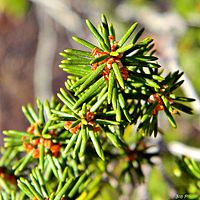 Florida rosemary (Ceratiola ericoides) (6513263245) .jpg