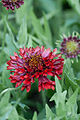 "Flower, Gaillardia Pulchella ""Red Bloom"" - Flickr - nekonomania.jpg"