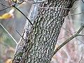Flowering Dogwood (30891446956).jpg