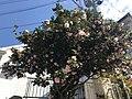 Flowers of Camellia japonica 20200329-1.jpg