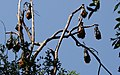 Flying Foxes in Wingham Brush - panoramio.jpg