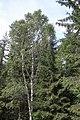 Forest detail in Dalarna-2.jpg