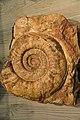 Fossile presso il museo Geo - Paleontologico di Camposilvano.jpg