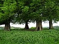 Four Lime trees Wyndham Hill - geograph.org.uk - 1288238.jpg