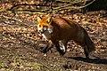 Fox (28142537440).jpg