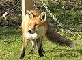 Fox (6904135785).jpg
