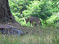Fox at Point Reyes - Flickr - GregTheBusker (1).jpg