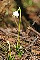 Frühlings-Knotenblume, Leucojum vernum 02.JPG