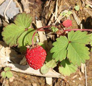 Fragaria iinumae - Image: Fragaria iinumae (fruits)