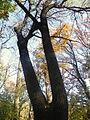 Fraxinus angustifolia (11).JPG