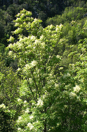 Fraxinus ornus - Foliage and flowers