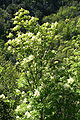 Fraxinus ornus JPG2.jpg