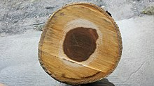 Round piece of wood showing cross-section