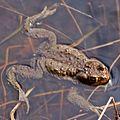 Frog in Muuratsalo.jpg