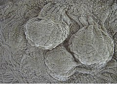 From the Niobrara Formation during the Upper Cretaceous in Western Kansas, US, Uintacrinus socialis Grinnell.jpg