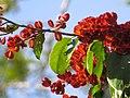 """Frutos imaturos de """"Escova-de-macaco"""" - Combretum fruticosum - Combretaceae - Liana semilenhosa - trepadeira 03.jpg"""