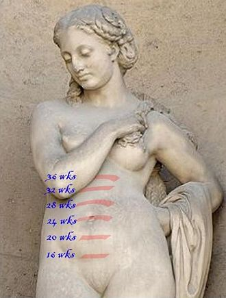 Fundal height - Illustration of fundal height at various points during pregnancy
